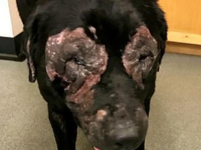 Stăpâna a refuzat să meargă cu câinele la veterinar și pielea acestuia a devenit ca de elefant! Ce a pățit animalul