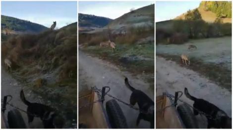 Doi lupi au urmărit o căruță, ziua în amiaza mare. Imagini neobișnuite surprinse într-un sat din Harghita