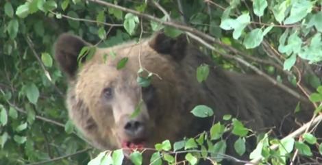 Alertă în Brașov! Doi copii și un bărbat, răniți de un urs | VIDEO