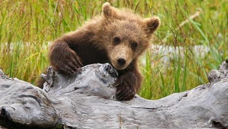 Musafir nepoftit! Un urs vizitează în fiecare zi un sat din Harghita