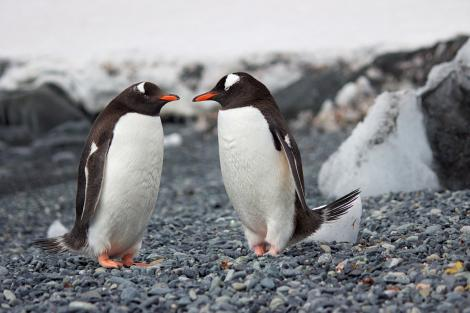 """Doi pinguini gay a furat un ou de la alt cuplu de pinguini pentru a deveni """"părinți"""""""