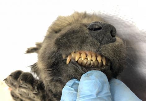 Descoperire uimitoare! Un cățeluș a rămas înghețat timp de 18.000 de ani!  Nasul, blana și dinții au rămas intacți