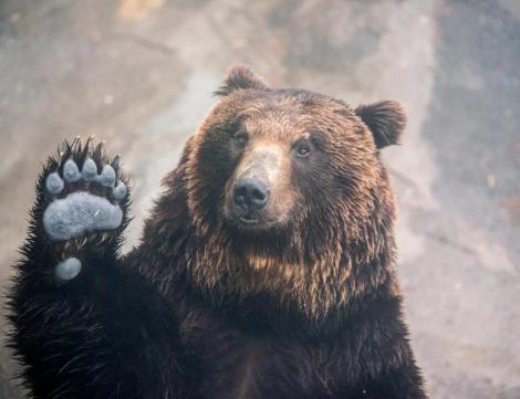 Încă un urs a MURIT lovit de o mașină! Animalul s-a târât câțiva kilometri înainte să moară. Este al cincilea caz în 30 de zile