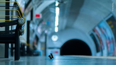 """Doi șoareci, surprinși în timp ce luptau """"cu pumnii"""" pentru o firimitură, la metroul din Londra. Imaginea e virală și ar putea să devină poza anului"""