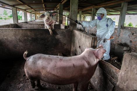 """Oamenii de știință susțin că au găsit un tratament pentru pesta porcină!  """"Cred că va fi posibil să comercializăm vaccinul"""""""