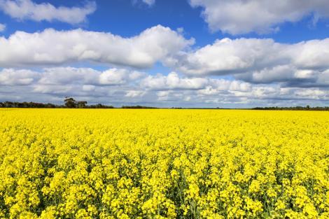Care sunt lucrările de primăvară la rapiță și cum trebuie efectuate corect