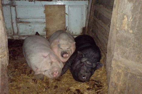 O femeie a fost mâncată de vie de porcii din coteț. I-au devorat fața, urechile și umerii!