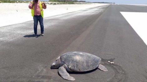 Imaginea care a starnit revoltă in toată lumea! O broască țestoasă de mare pe cale de dispariție a fost surprinsă depunându-și ouăle pe o pistă de aterizare