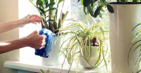 Cele mai sănătoase plante de apartament. Absorb toxinele și energia negativă