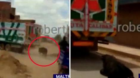 Video. Inuman! Un taur este obligat să alerge legat de un camion și este târât cu bestialitate zeci de kilometri!