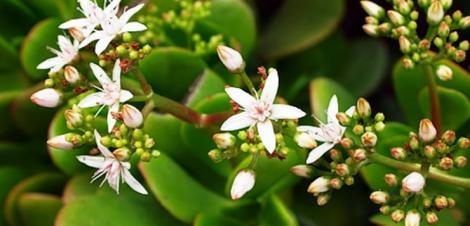 Plante de apartament: Cum îngrijești Copacul Banilor, Crassula Ovata, planta bogăției