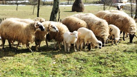 Crescătorii de ovine vor primi anul acesta un ajutor de minimis de 2 lei/kg pentru comercializarea lânii