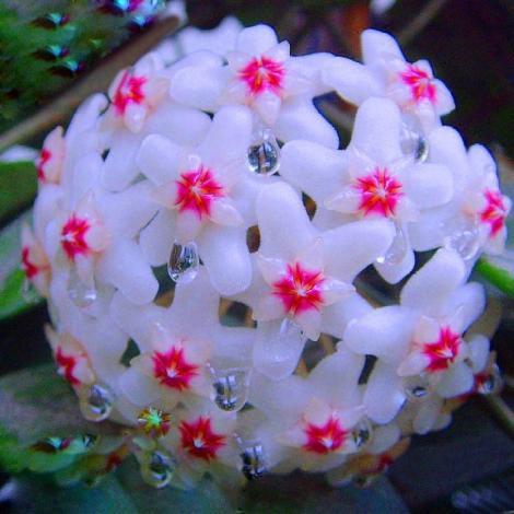 Lacrima Maicii Domnului, floarea care produce mir. De ce s-o ai în casă și grădină