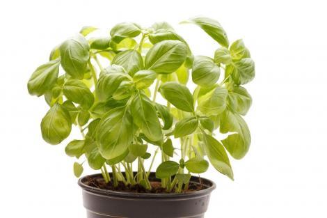 Plante de apartament benefice. De ce este bine să ai busuioc în ghiveci