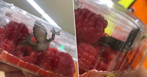 O șopârlă a fost găsită într-o caserolă de zmeură din supermarket. Ce s-a întâmplat după cu reptila