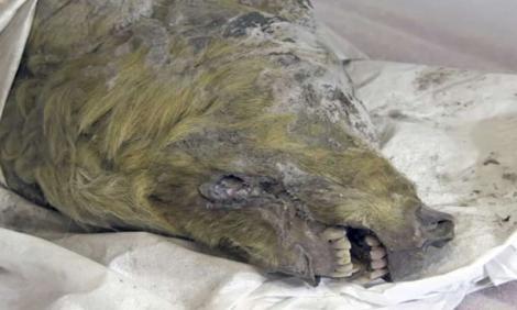Un cap de lup gigantic, vechi de 32.000 de ani, are creierul și dinții în stare bună. Imagini spectaculoase!