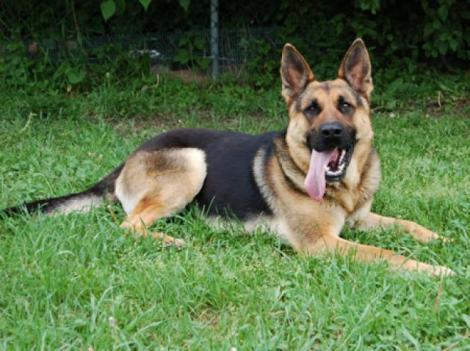 Ciobănesc german, câinele perfect pentru pază. Caracteristici și lucruri neștiute despre cea mai popularã rasã