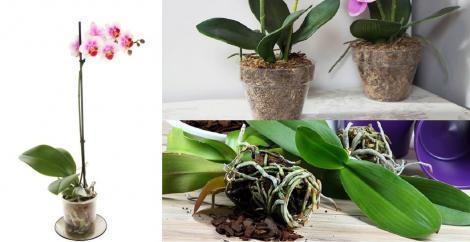 Când trebuie să schimbi ghiveciul la orhidee și la alte plante de apartament