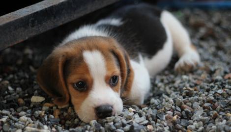 Beagle, cel mai sociabil câine: îngrijire și trăsături de personalitate