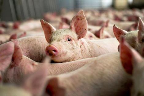 Pesta porcină africană a evoluat în 20 de județe din țară
