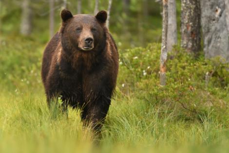 Un bărbat aflat pe Transfăgărășan s-a speriat de un urs și a făcut accident! Omul a fost dus de urgență la spital