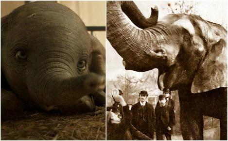 """Elefantul Jumbo, care a inspirat povestea """"Dumbo"""", era un superstar alcoolic! A fost hrănit cu pâine de Regina Victoria și l-a adorat o țară întreagă, dar a sfârșit tragic. """"Capul său maiestuos sângera"""""""