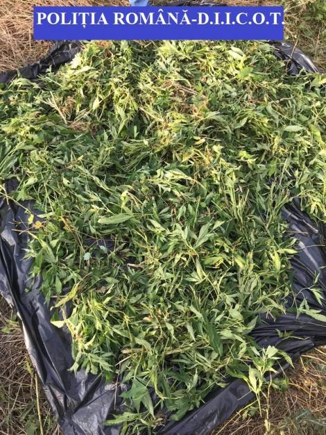 Vâlcea: 16 percheziţii la persoane bănuite de trafic de droguri de risc; au fost descoperite cinci plantaţii de cannabis