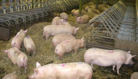 Sute de porci din două localităţi din judeţul Galaţi vor fi sacrificaţi, după ce s-a confirmat pesta porcină în trei gospodării