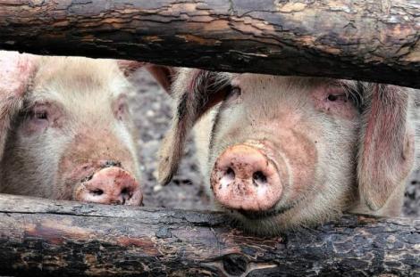 """Se vor putea transplanta inimi de la porci la oameni! Când va fi posibil. """"Vor fi salvați mai mulți pacienți"""""""