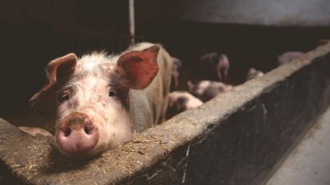 ALERTĂ! Pesta Porcină Africană face prăpăd! Iată localitățile cele mai afectate
