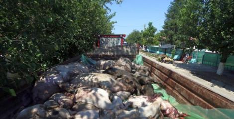 Pesta porcină afectează din nou România. Animale sacrificate în Vrancea pentru a stopa răspândirea