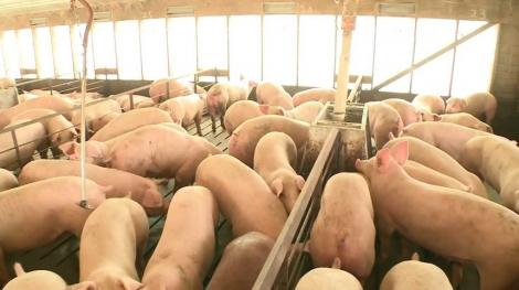 ANSVSA: Pesta porcină africană este prezentă în 316 localităţi din 25 de judeţe