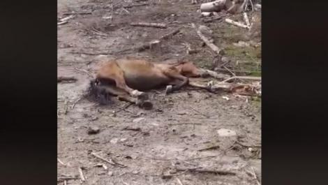 Cum este un cal torturat și folosit ca momeală pentru urși VIDEO