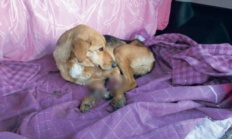 Cruzime fără margini, la Brăila! Câine găsit cu trei labe tăiate și abandonat în stradă! Ce a urmat | FOTO
