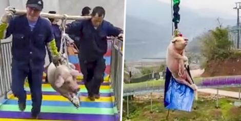 Cruzime într-un parc de distracții! Au legat un porc de picioare și l-au silit să facă bungee jumping - VIDEO