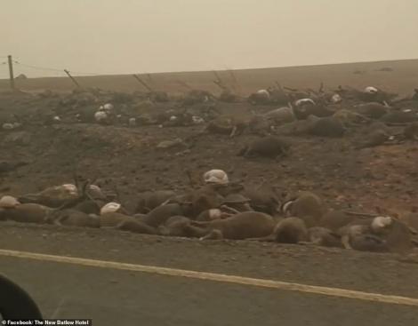 Ce rămâne în urma incendiilor devastatoare din Australia. Mii de animale zac moarte pe marginea drumului. Atenție, imagini care vă pot afecta emoțional!