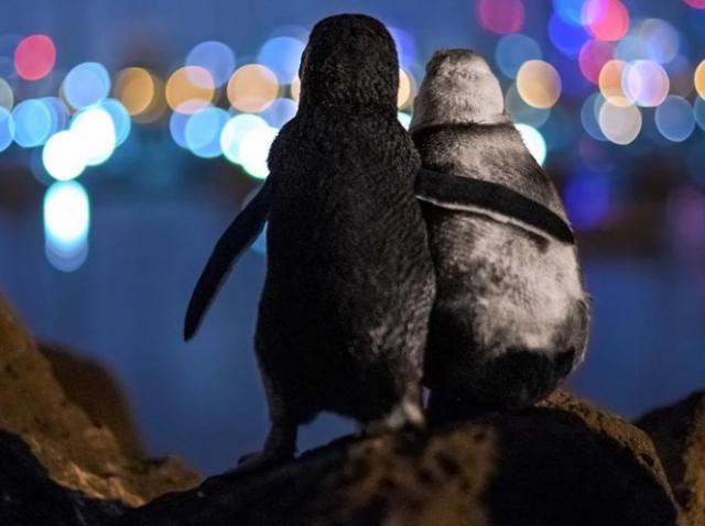 O poză cu doi pinguini văduvi care se îmbrățișează a ajuns viral pe internet