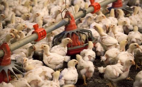 Milioane de păsări din fermele chineze riscă să moară de foame, mare parte din ţară fiind blocată din cauza epidemiei