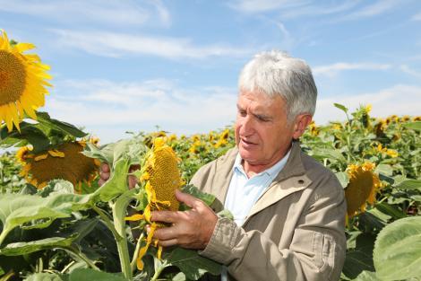 Ce trebuie să știi despre protecția culturii de floarea-soarelui