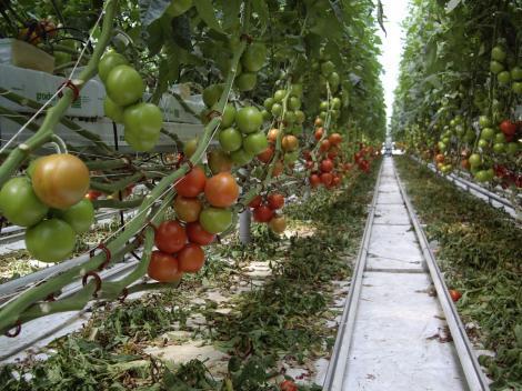 Ministerul Agriculturii: Programul de susţinere a fermierilor care cultivă roşii continuă şi în 2020