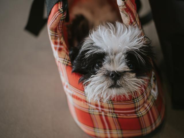 10 rase de câini de talie mică potriviţi pentru familiile cu copii