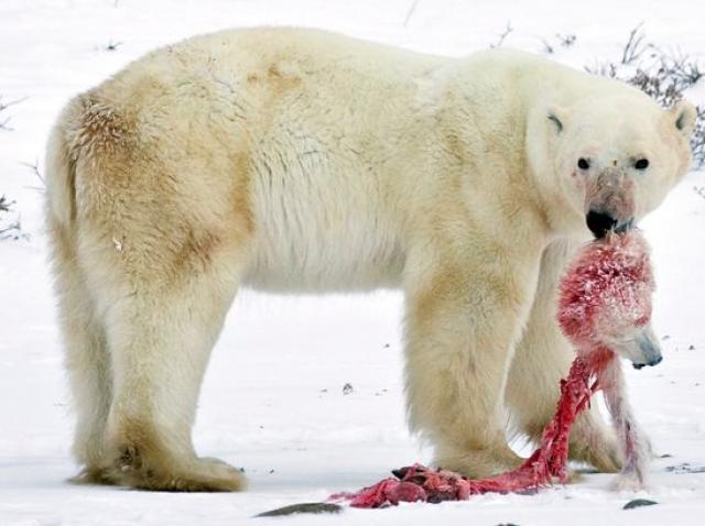 Natura plânge!Urșii polari au recurs la canibalism, din cauza încălzirii globale și a lipsei de hrană