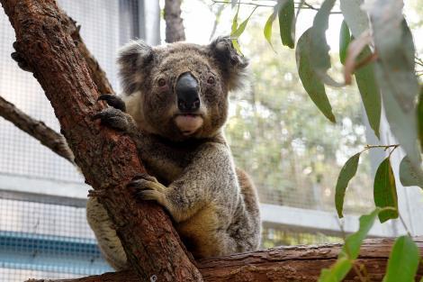 Zeci de urși koala au fost rași cu buldozerul, într-o pădure de eucalipt din Australia