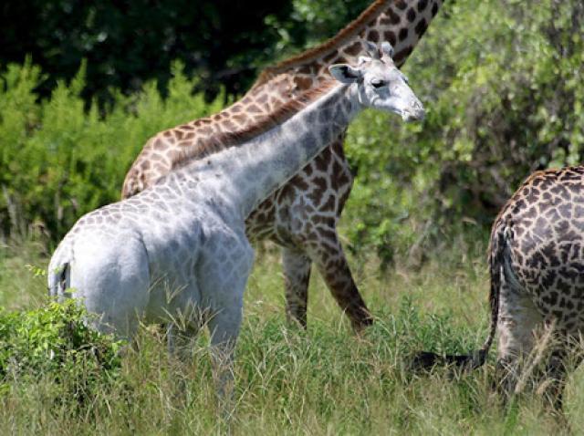 Pădurarii au descoperit cadavrele unei femele și a puiului său. Două din cele trei girafe albe rămase pe lume au fost ucise de braconieri
