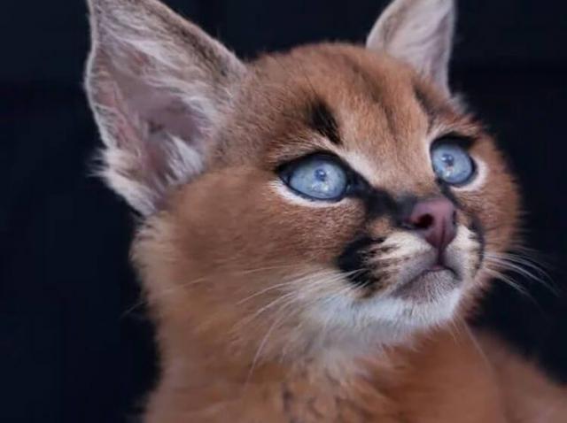 Culmea drăgălășeniei! Una dintre minunatele creaturi de pe Pământ. Pisica Caracal, cea mai drăguță felină din lume!