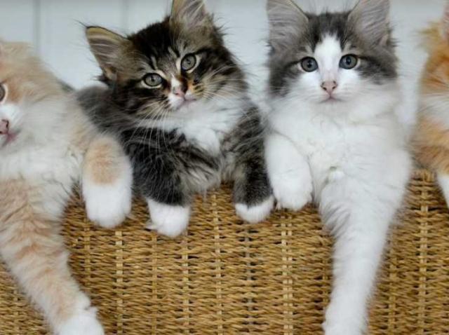 Imaginile care îţi vor face ziua mai frumoasă! Cele mai mici rase de pisici