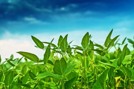Cum se poate crește profitabilitatea culturii de soia