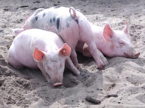 Reproducerea porcilor în micile gospodării va fi interzisă