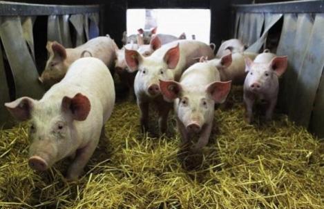 Timiș: Focar de pestă porcină africană. Zeci de porci au fost incinerați