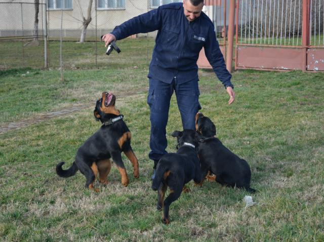 Trei căţeluşe din rasa Rottweiler au început pregătirea la Inspectoratul de Jandarmi Judeţean Arad